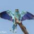 Scharrelaar Vogelhut BSP6 Portugal