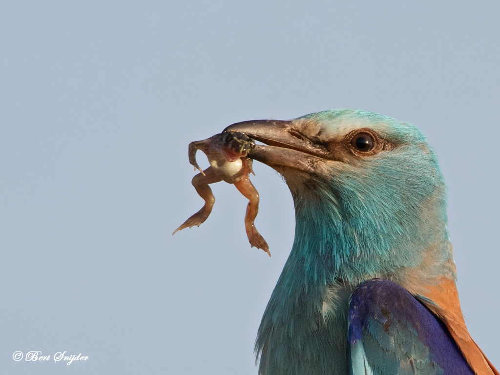 Scharrelaar Vogels Portugal