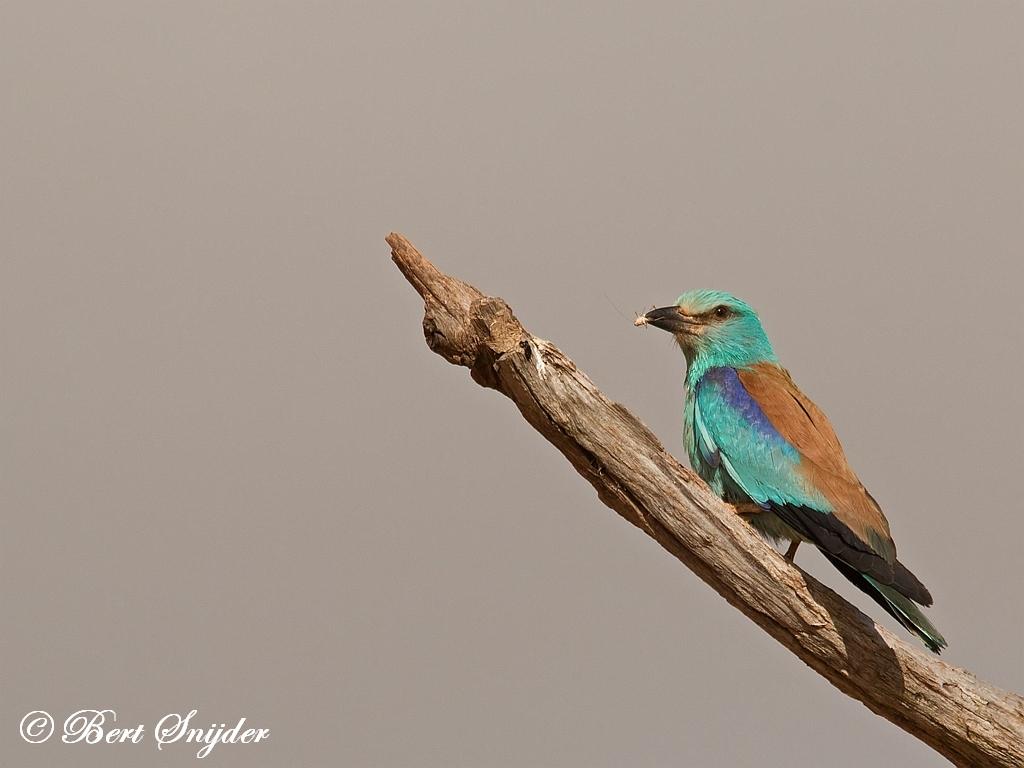 Scharrelaar Vogelreis Portugal