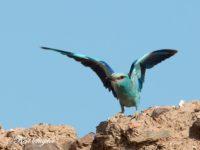 Scharrelaar Vogelfotografiereis Portugal