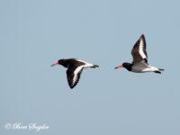 Scholekster Vogelvakantie Portugal