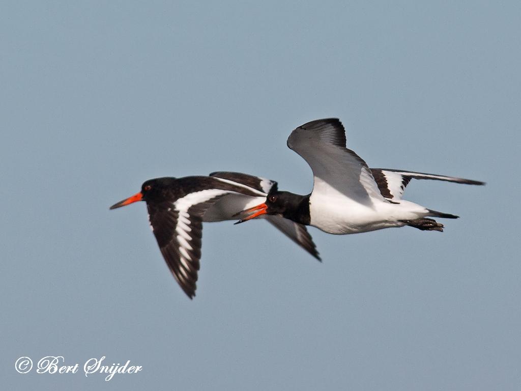Scholekster Vogelreis Portugal