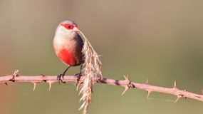 Sint-Helenafazantje Vogelvakantie Portugal