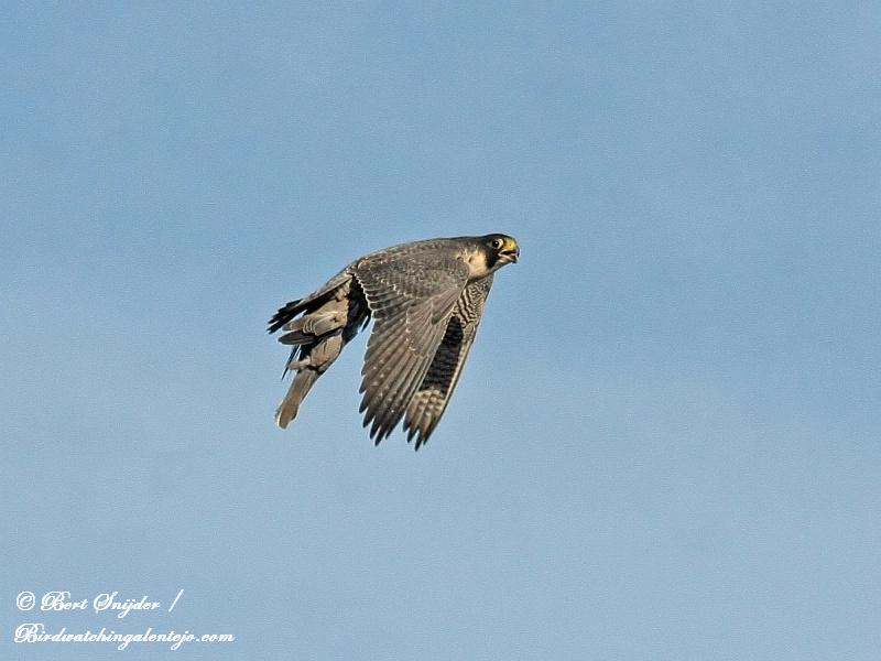 Slechtvalk Vogelreis Portugal