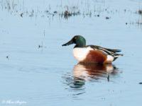 Slobeend Vogelreis Portugal