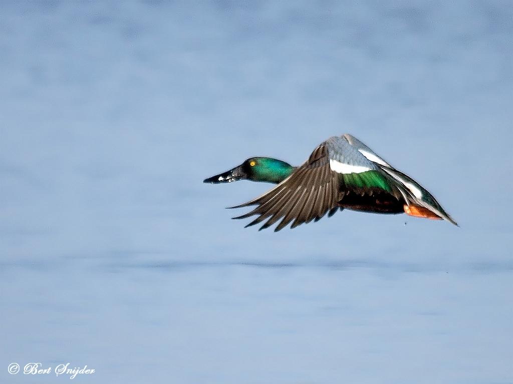 Slobeend Vogelvakantie Portugal