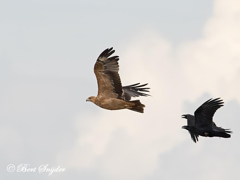 Spaanse Keizerarend Vogelvakantie Portugal