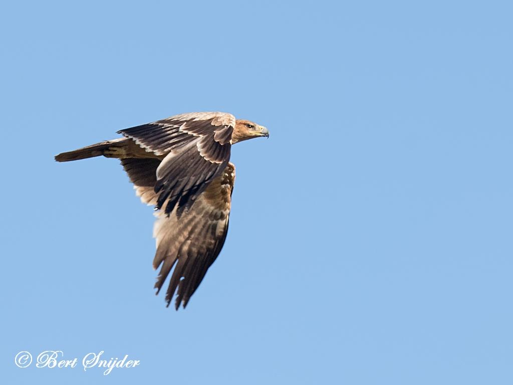 Spaanse Keizerarend Vogelreis Portugal