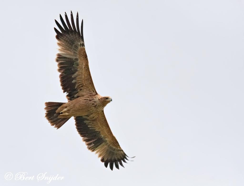 Spaanse Keizerarend Vogelfotografiereis Portugal