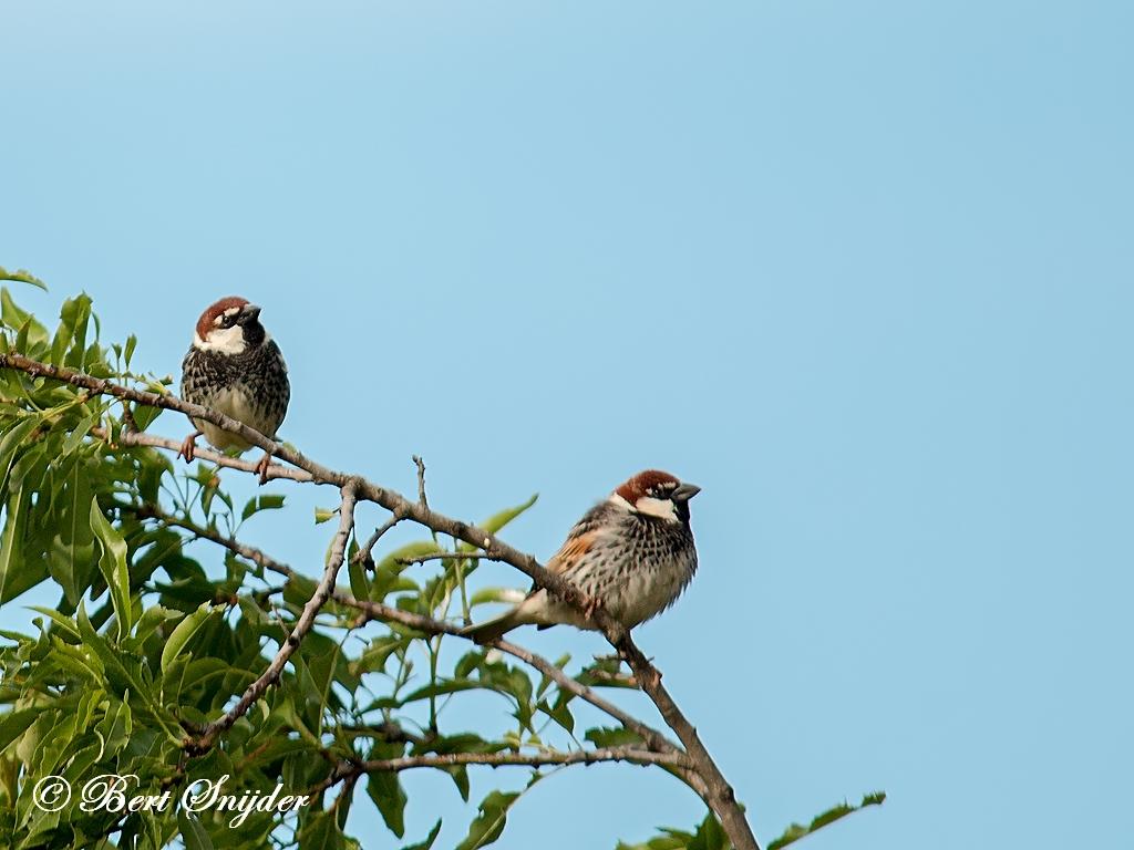 Spaanse Mus Vogelreis Portugal
