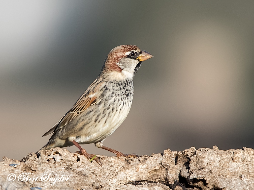 Spaanse Mus Vogelvakantie Portugal
