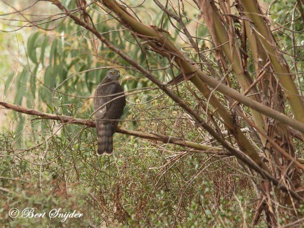 Sperwer Vogelhut Portugal