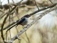 Staartmees Vogelreis Portugal