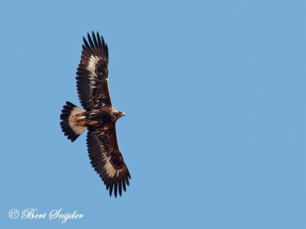 Steenarend Vogelvakantie Portugal