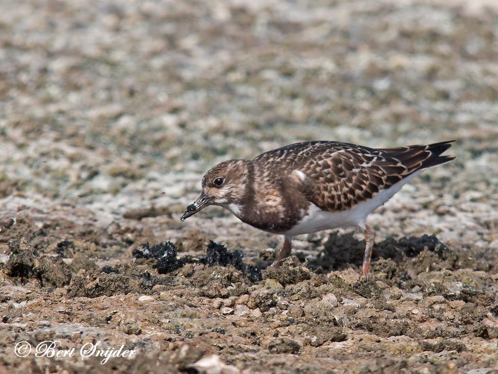Steenloper Vogelreis Portugal