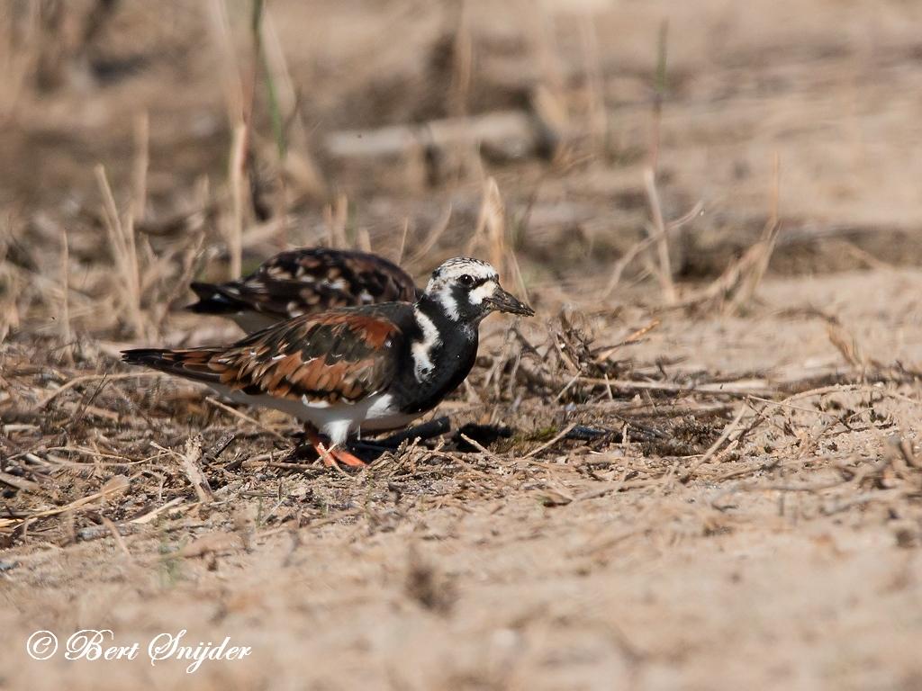 Steenloper Vogelhut BSP3 Portugal