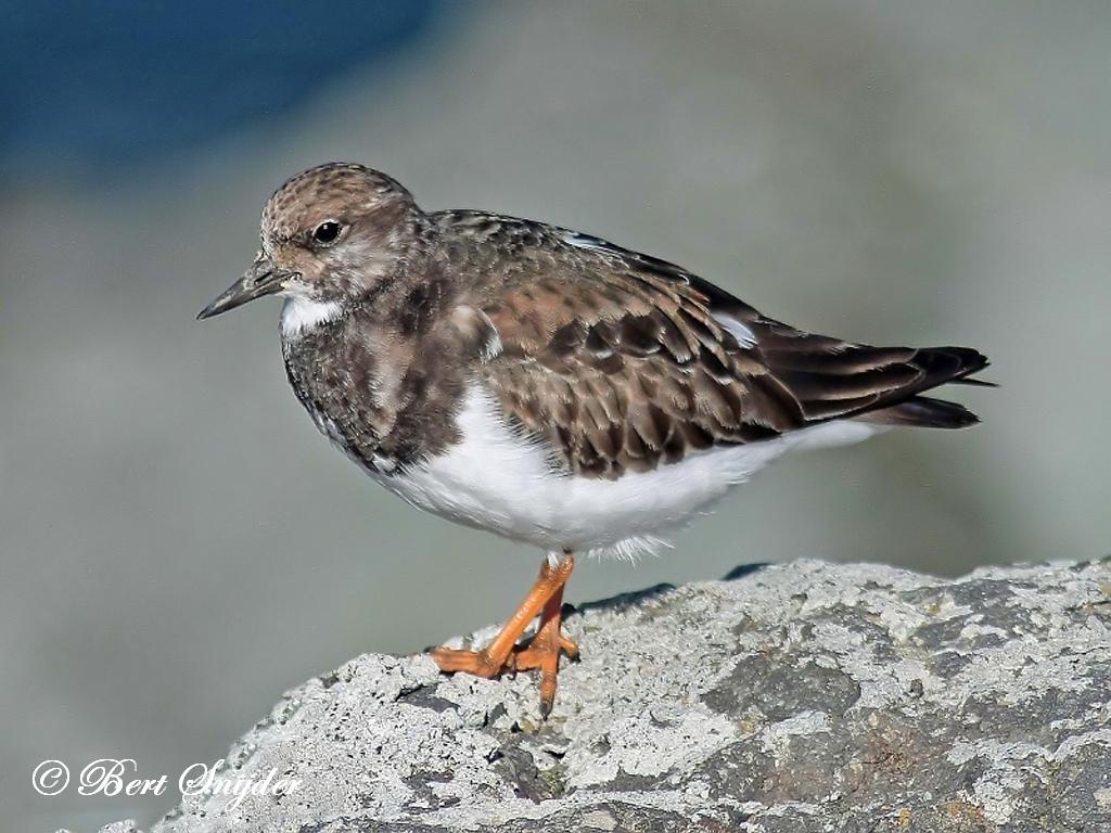 Steenloper Vogelvakantie Portugal