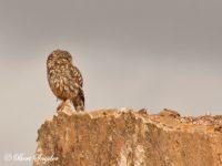 Steenuil Vogelfotografiereis Portugal