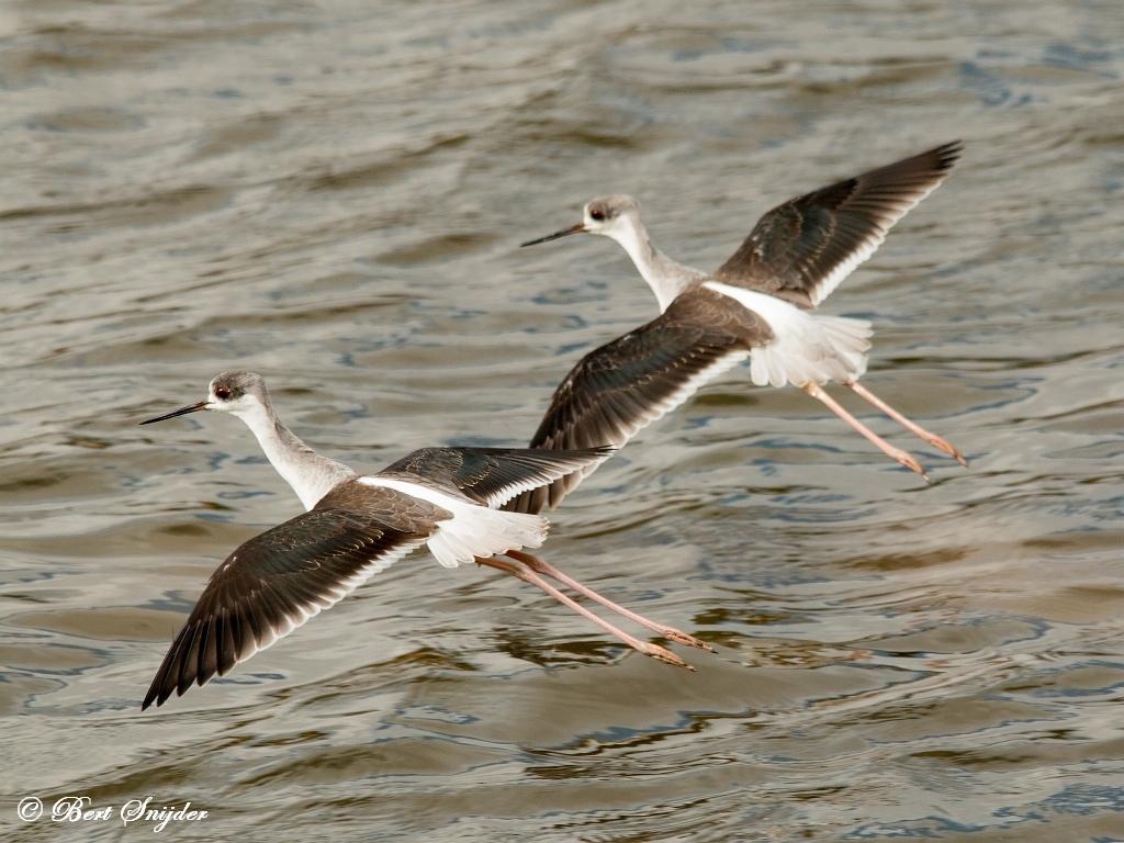 Steltkluut Vogelreis Portugal