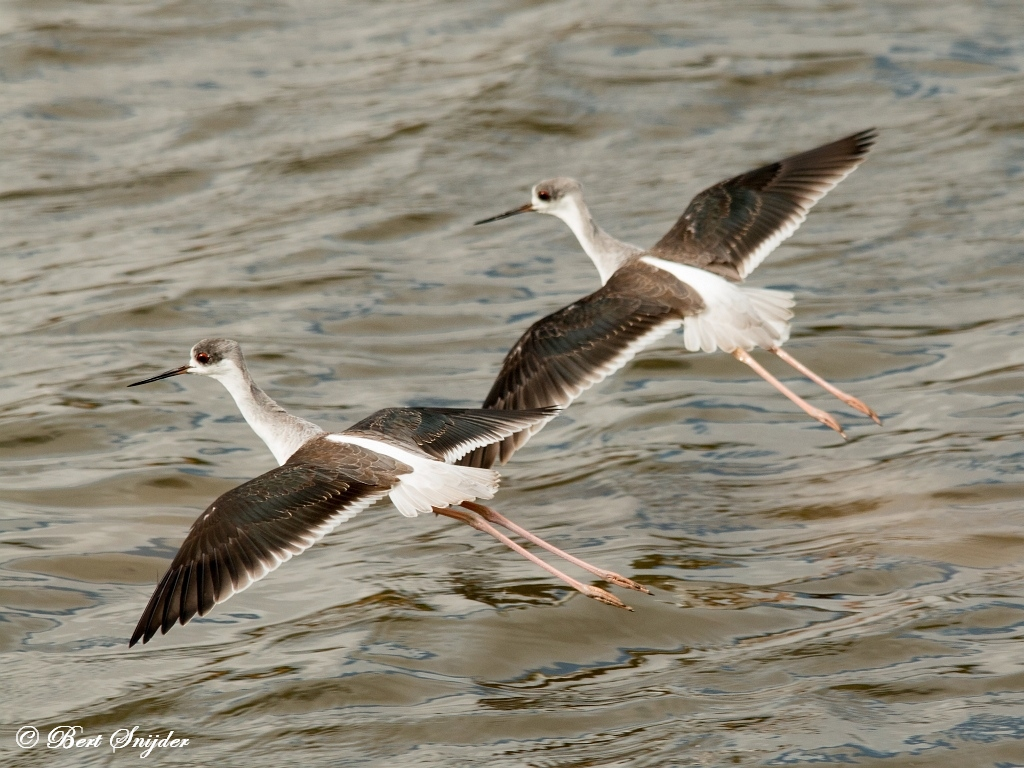 Steltkluten Vogelfotografie reis Portugal