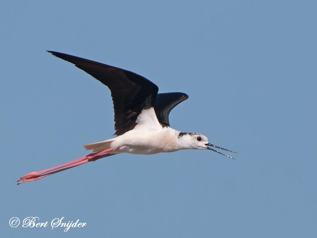 Steltkluut Vogelkijkhut BSP3 Portugal