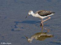 Steltkluut Vogelfotografie reis Portugal