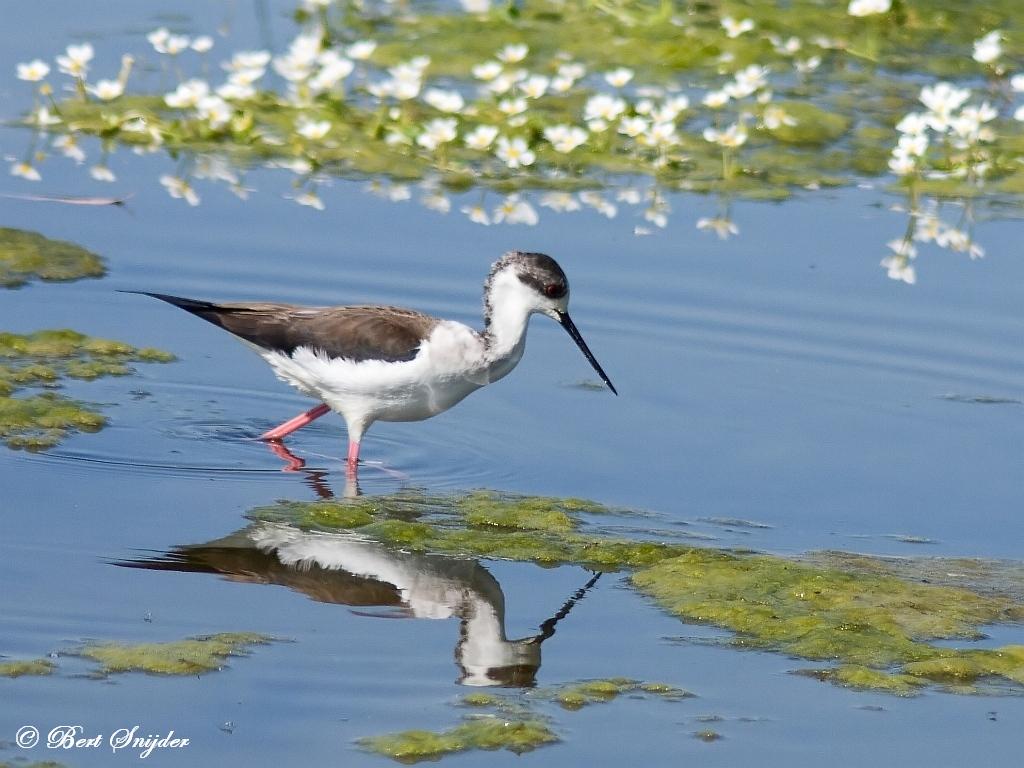 Steltkluut Vogelvakantie Portugal