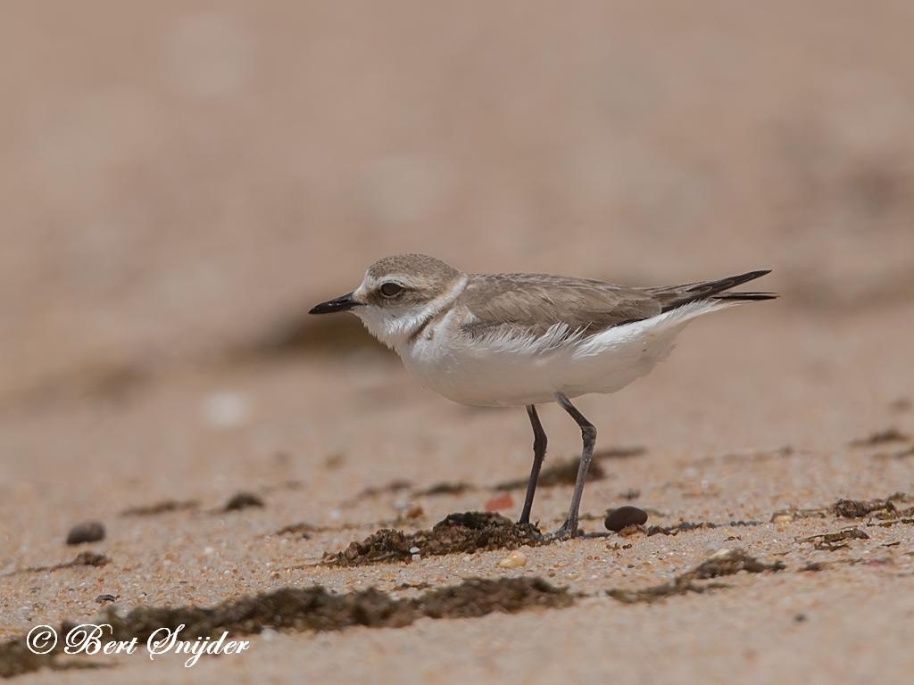 Strandplevier Vogelvakantie Portugal
