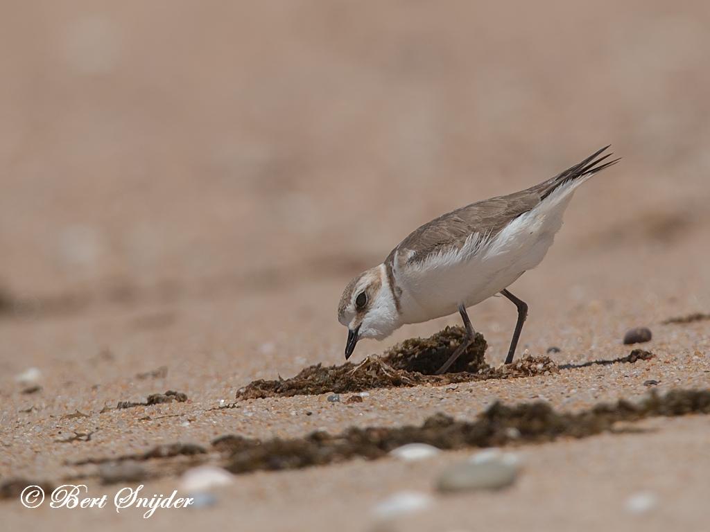 Strandplevier Vogelreis Portugal