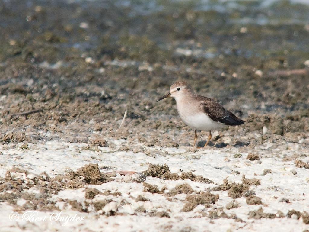 Temmincks Strandloper Vogelreis Portugal
