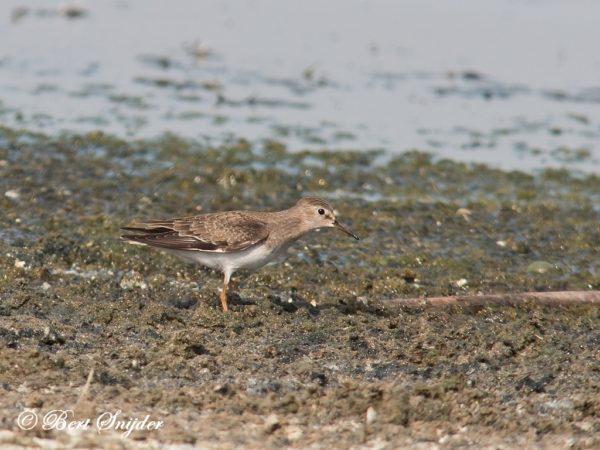 Temmincks Strandloper Vogelvakantie Portugal