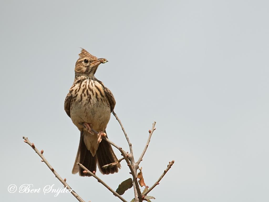 Theklaleeuwerik Vogelvakantie Portugal