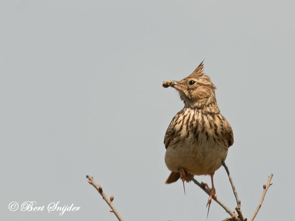 Theklaleeuwerik Vogelreis Portugal