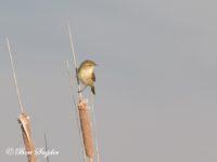 Tjiftjaf Vogelvakantie Portugal