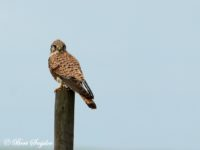 Torenvalk Vogelreis Portugal
