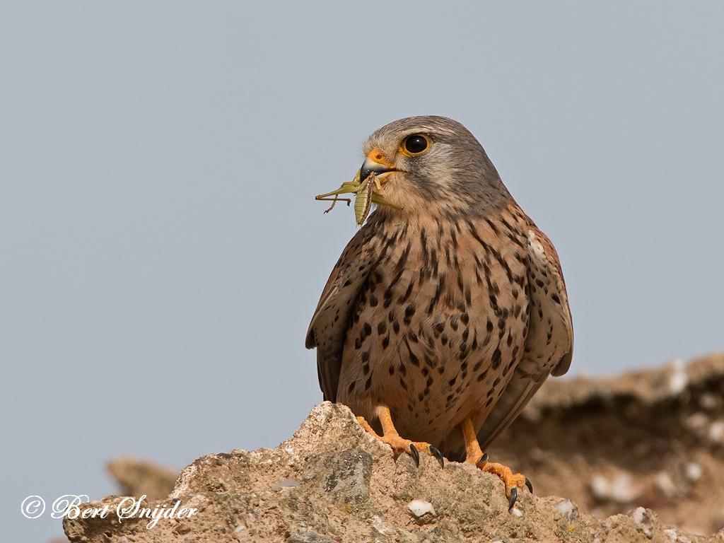 Torenvalk Vogelhut BSP6 Portugal