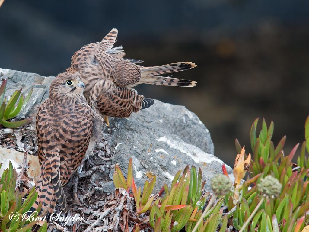 Torenvalk Vogelvakantie Portugal