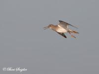 Tureluur Vogelreis Portugal