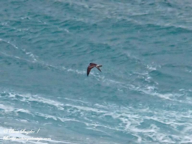 Vaal Stormvogeltje Vogelreis Portugal