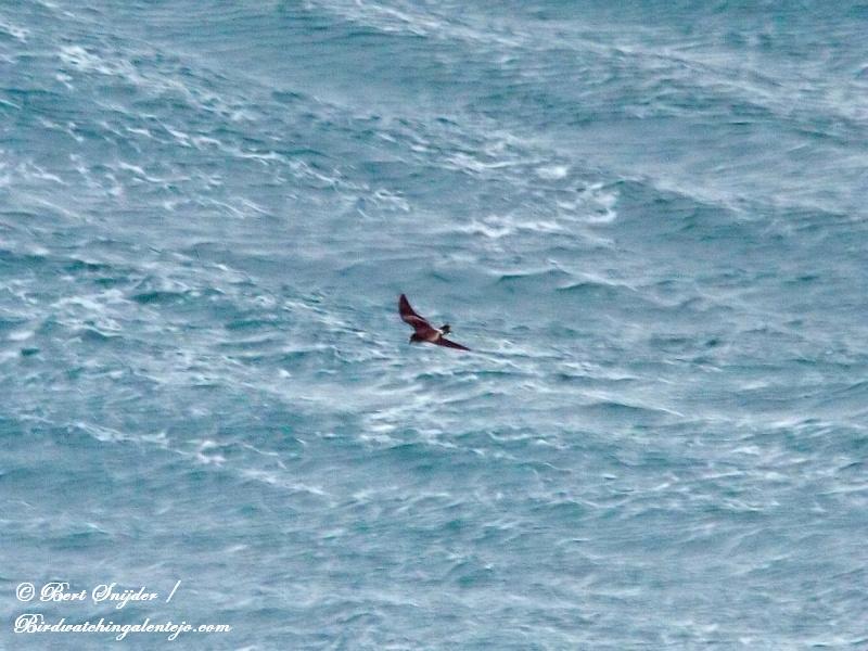 Vaal Stormvogeltje Vogelvakantie Portugal