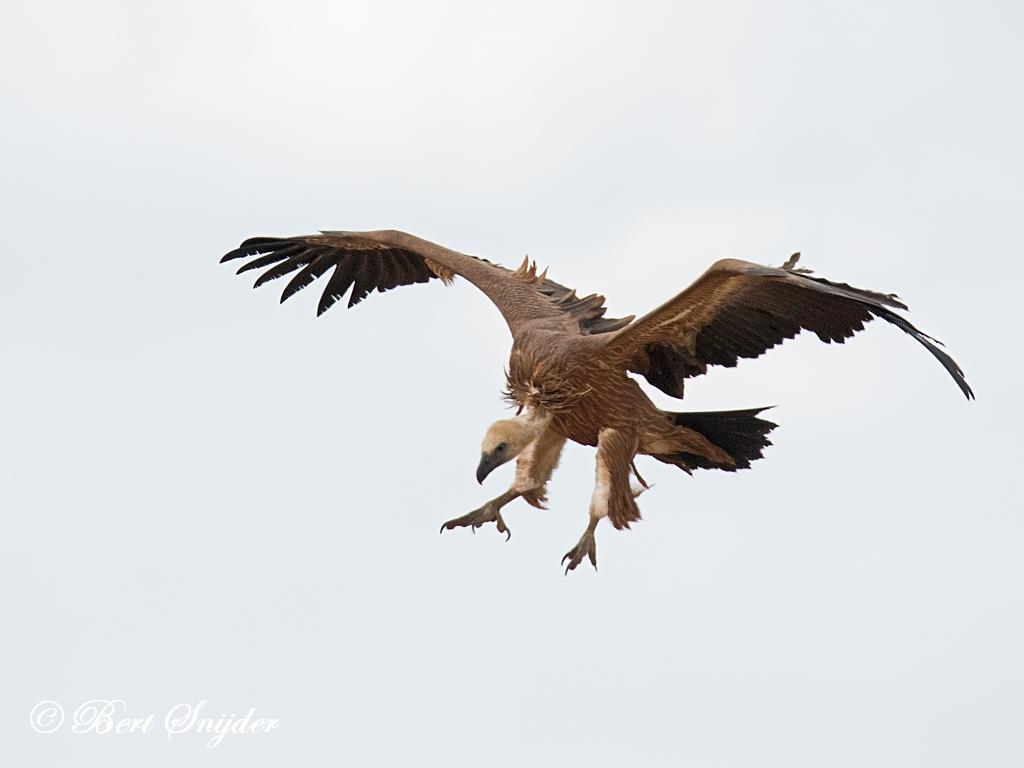 Vale Gier Vogelvakantie Portugal