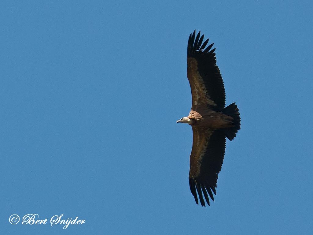 Vale Gier Vogelhut BSP6 Portugal