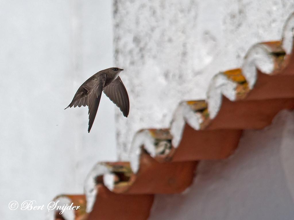 Vale Gierzwaluw Vogelreis Portugal