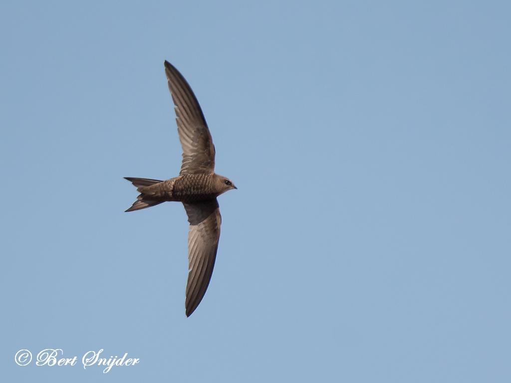 Vale Gierzwaluw Vogelvakantie Portugal
