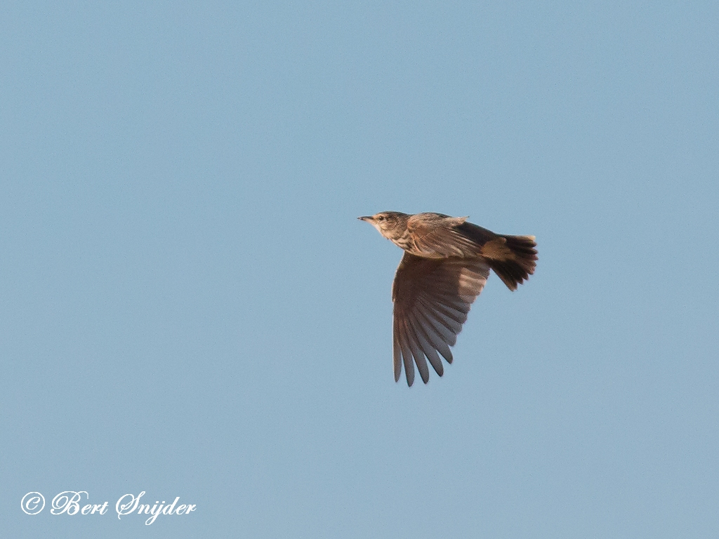 Veldleeuwerik Vogelvakantie Portugal