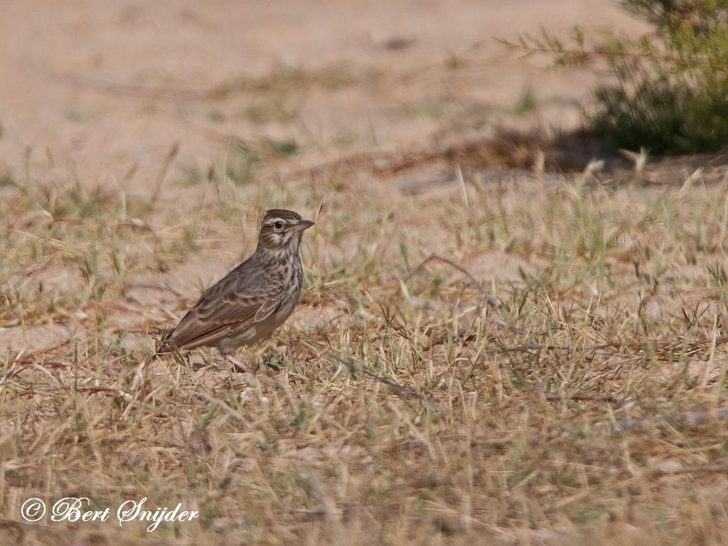 Veldleeuwerik Vogelreis Portugal