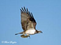 Visarend Vogelfotografie reis Portugal