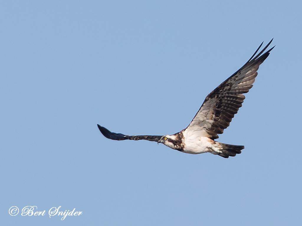 Visarend Vogelvakantie Portugal