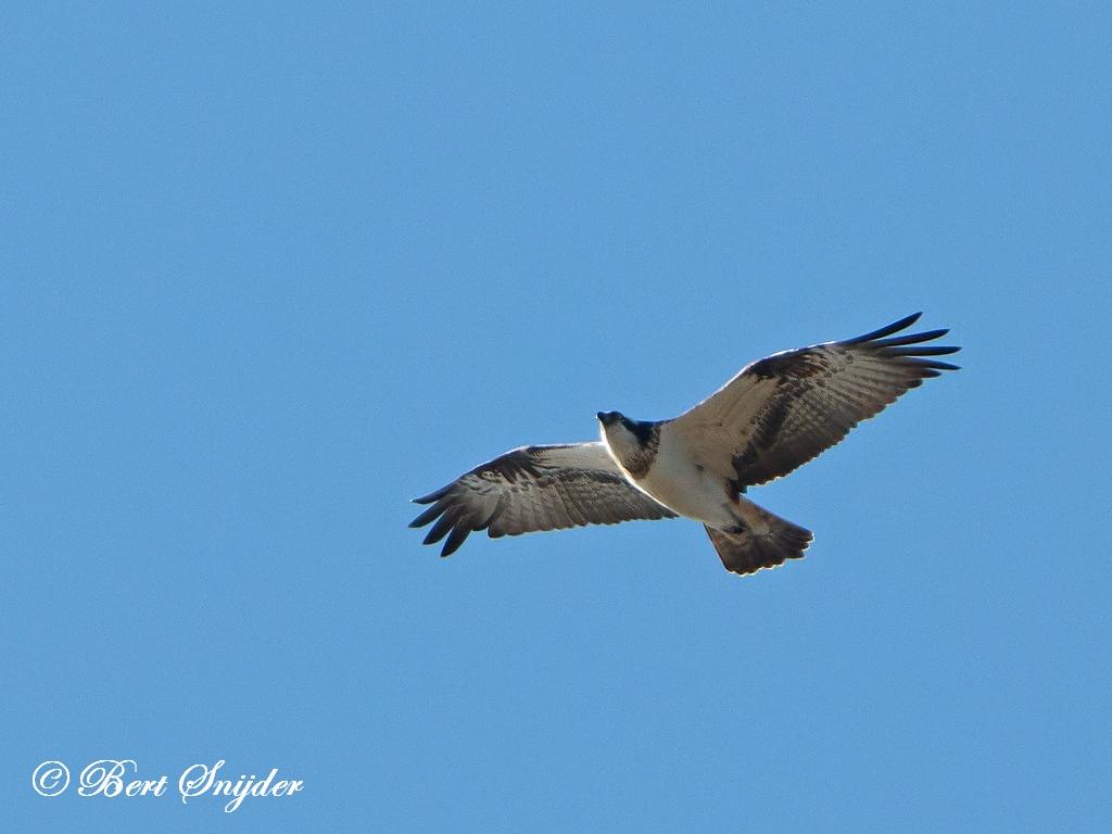 Visarend Vogelkijkhut BSP2 Portugal