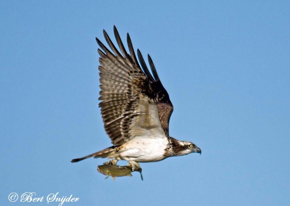 Visarend Vogelreis Portugal